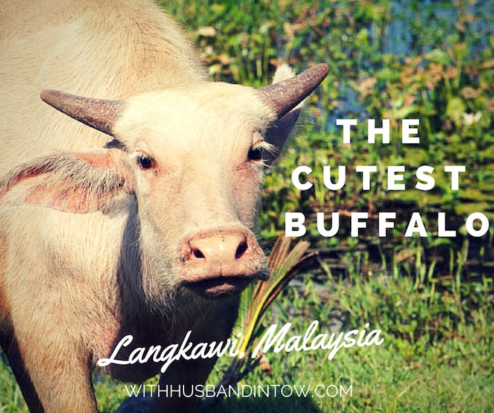 Cute Buffalo Pictures