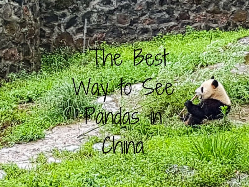 Pandas in Chengdu – The Best Way to See Them