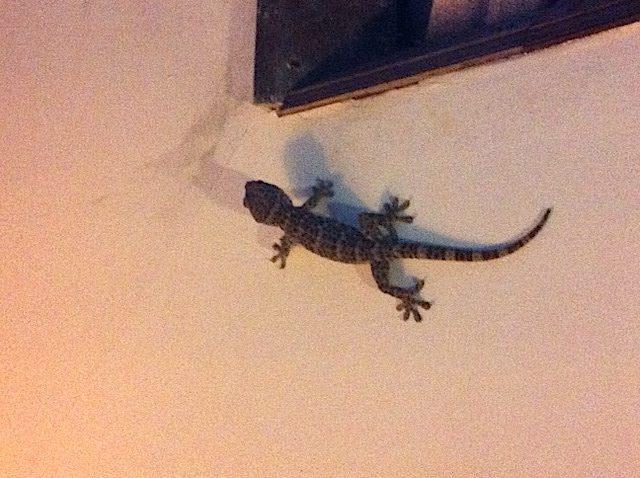 animaux à Bali - Tokay gecko Bali