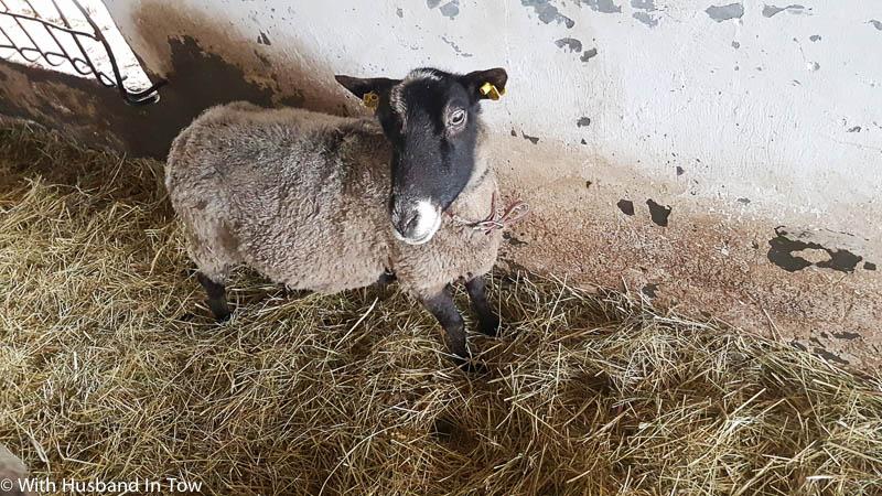 goats at a Moravia vineyard