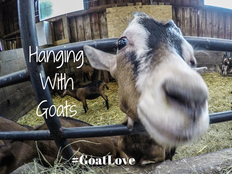 Hanging With French Goats At A Cheese Farm