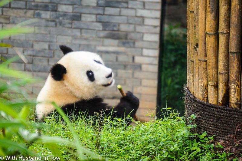 Chengdu Panda Tour - Chengdu Attractions