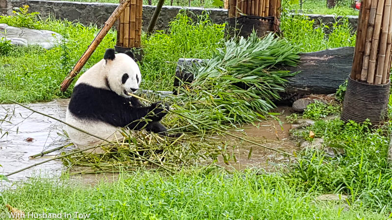 Panda Chengdu Tour