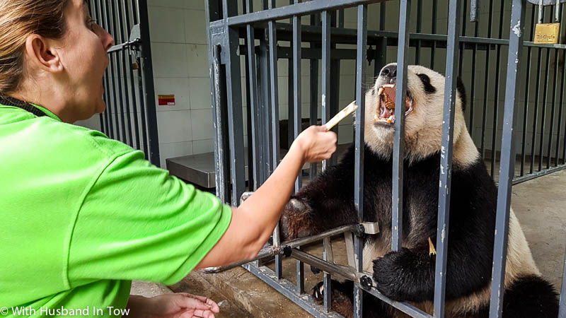 Chengdu Panda Sanctuary Volunteer Experience