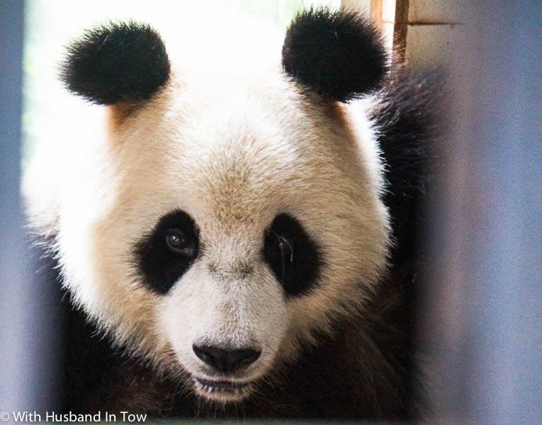 Best Chengdu Panda Tour - Being a Chengdu Panda Volunteer
