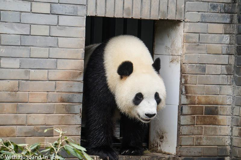 The Best Chengdu Panda Tour - panda reserve china