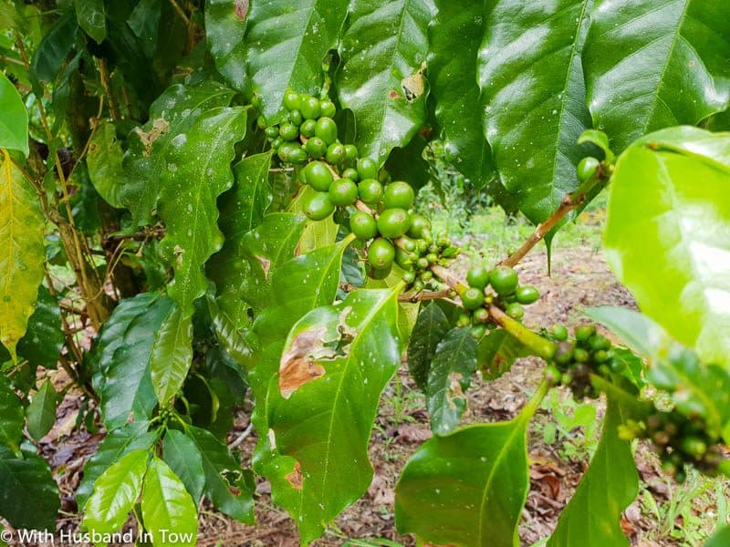 What to drink in Jamaica - Blue Mountain Coffee
