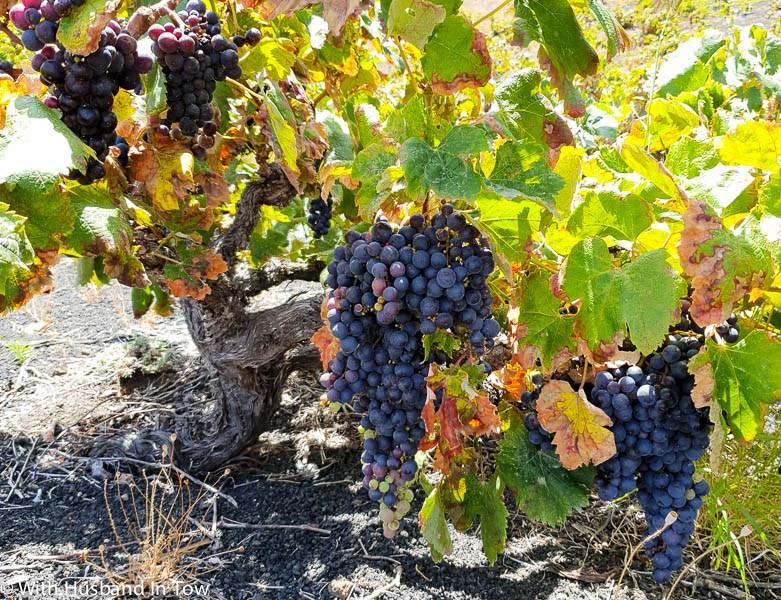 Canary Islands Wine Varietals