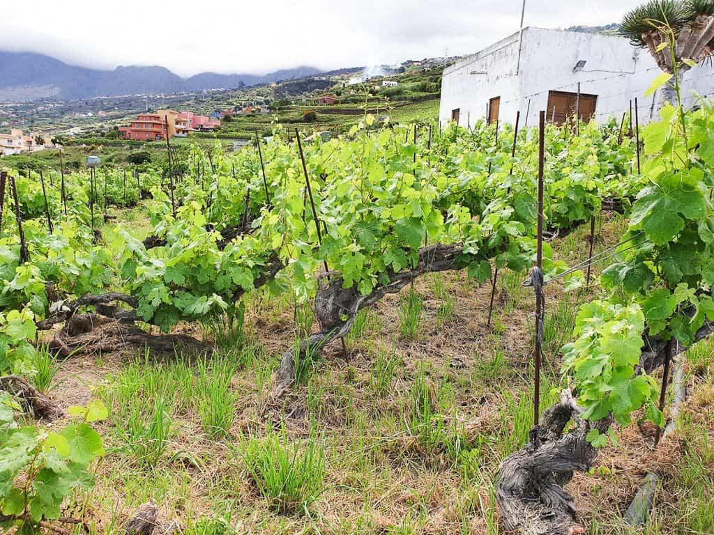Tenerife Vineyards